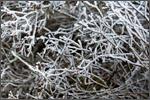 frostyrosebush