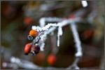 frozenhips