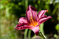daylily summer wine hemerocallis