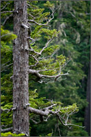 subalpine fir abies lasiocarpa