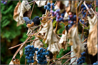 concord grapes and rufous sided towhee - pipilo erthyrophthalamus