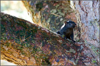 melanistic variety of easter grey squirrel