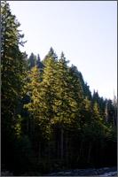 swift creek trees