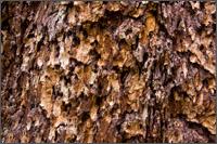 douglas fir - pseudotsuga menziesii - bark