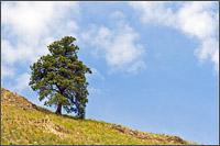 lone pine along ridge near kekuli bay provincial park