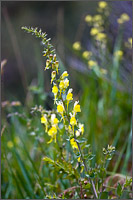 yellow toadflax linaria vulgaris