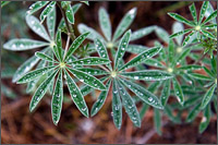raindrops on lupine leaves in stemwinder provincial park