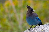 stellers jay - cyanocitta stelleri - in mount rainier national park