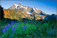 arctic lupine and mt shuksan