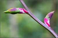 red huckleberry - vaccinium parvifolium - leaf buds