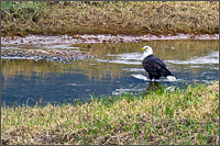 bald eagle - haliaeetus leucocephalus eating salmon near the harrison river chehalis area