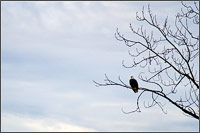 a bald eagle - haliaeetus leucocephalus - at the lower stave river in mission british columbia
