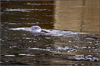 a harbour seal -phoca vitulina - catching salmon in the Lower stave river in mission british columbia