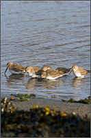 small flock of dunlin - calidris alpina - feed along the shore of penn cove in washington state