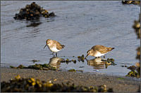 small flock of dunlin - calidris alpini - feed along the shore of penn cove in washington state