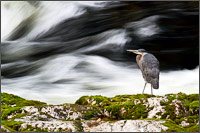 great blue heron - ardea herodias - at the capilano river