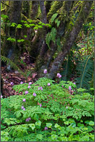 vine maple and pacific bleeding hearts in campbell valley park, langley, british columbia