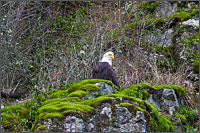 bald eagle halieaeetus leucocephalus in harrison mills british columbia, canada