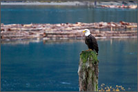 bald eagle halieaeetus leucocephalus at the harrison river in british columbia, canada