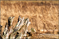 a northern flicker - colaptes auratus - on a piece of driftwood at boundary bay - british columbia - canada