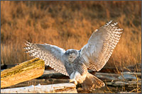 a snowy owl - bubo scandiacus - hops to a different piece of driftwood at boundary bay - british columbia - canada