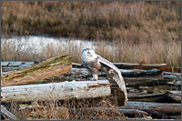a snowy owl - bubo scandiacus - stretching before flight at boundary bay - british columbia - canada