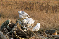 a group of snowy owls - bubo scandiacus - warm up for flight on a piece of driftwood at boundary bay - british columbia - canada