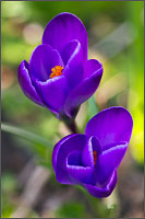 a crocus flower - crocus vernus - emerges from the ground in one of the first signs of spring