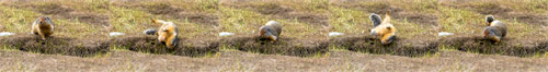 a columbian ground squirrel - urocitellus columbianus - scratching its back at manning provincial park in british columbia, canada