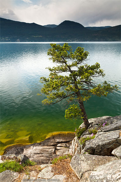 ponderosa pine on the shores of okanagan lake at ellison provincial park in vernon, british columbia