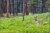 a mule deer odocoileus hemionus laying in the pine forest at ellison provincial park - vernon - british columbia - canada