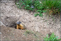 a yellow-bellied marmot - marmota flaventris - looks out from a burrow at kekuli bay provincial park - vernon - british columbia - canada