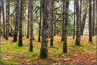symmetrical grove of trees at englishman river falls provincial park in the nanaimo regional district british columbia canada
