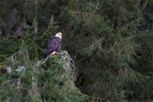bald eagle roosting in a tree at chehalis flats during the fraser valley bald eagle festival in british columbia, canada