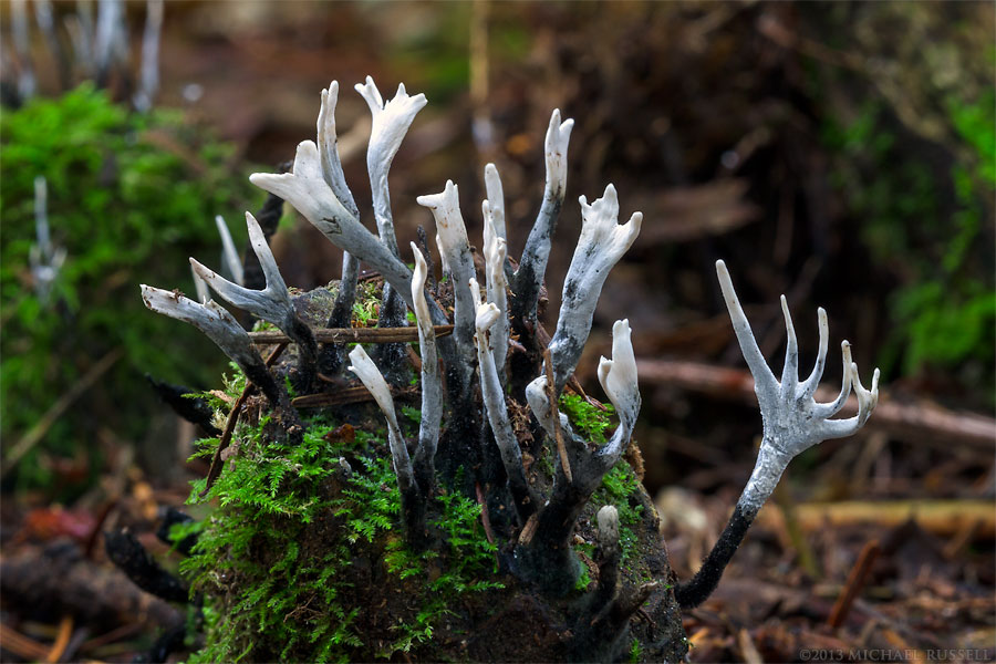 carbon antlers - xylaria hypoxylon - or candlesnuff fungus in campbell valley park
