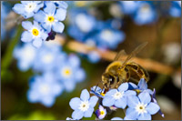 bee on forgetmenot