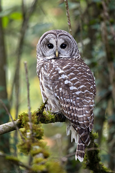 barred owl strix varia fraser valley