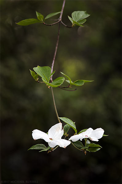 dogwood flowers in the fraser valley of british columbia