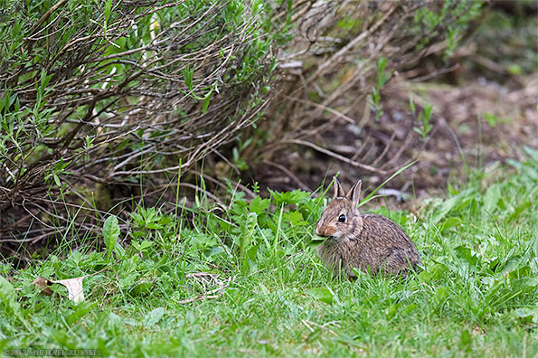 baby eastern cottontail sylvilagus floridanus