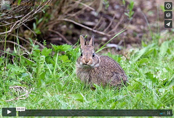 baby rabbit eating dandelions video