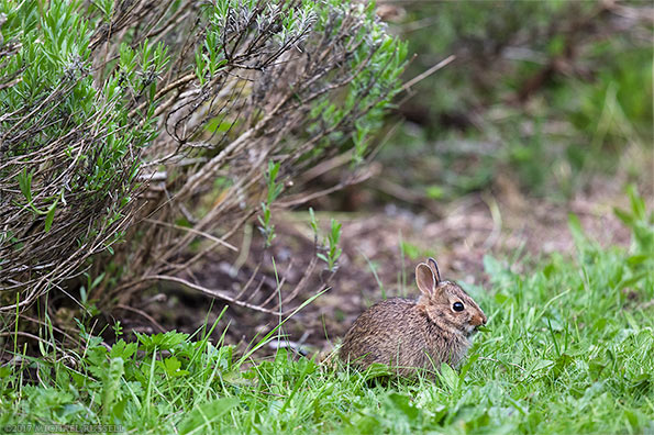 young eastern cottontail sylvilagus floridanus