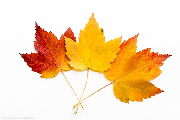 red orange and yellow maple leaves on a white background