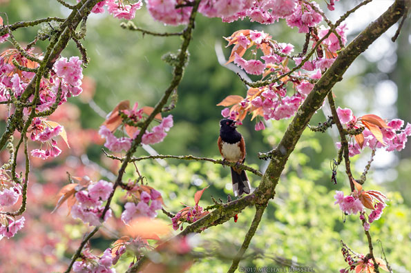 male spotted towhee in cherry blossoms tree