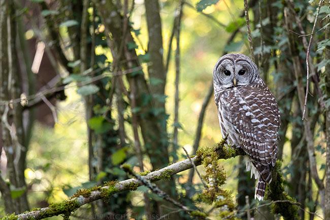 adult barred owl strix varia perched