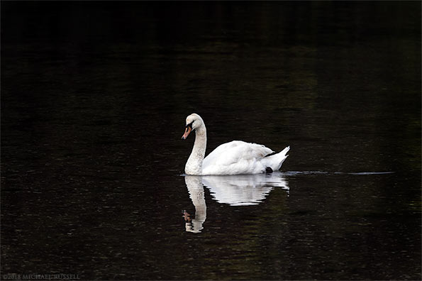 mute swan adult at fulford harbour salt spring island
