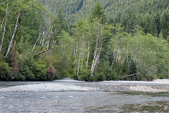 alder trees along gold creek in golden ears park