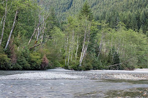 alder trees along gold creek in golden ears park