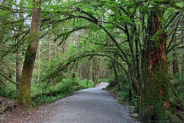 vine maples overhang the lower falls trail golden ears