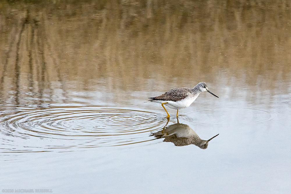 greater yellowlegs foraging at blackie spit