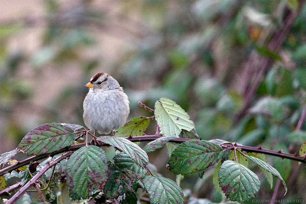 white-crowned sparrow at boundary bay regional park